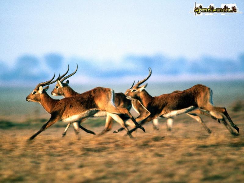Antilopi