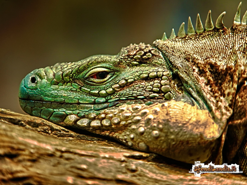 Iguana Face