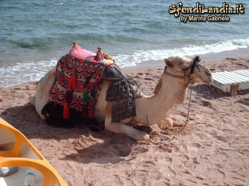 Cammello a Sharm