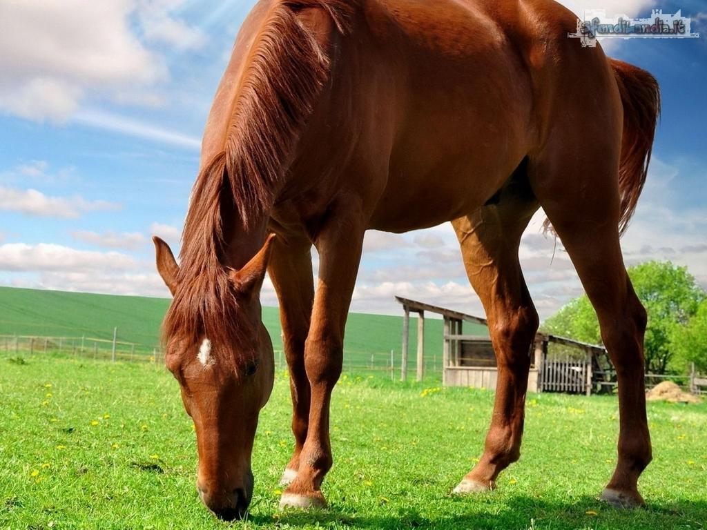 Sfondilandiait Sfondo Gratis Di Cavallo Marrone Per Desktop