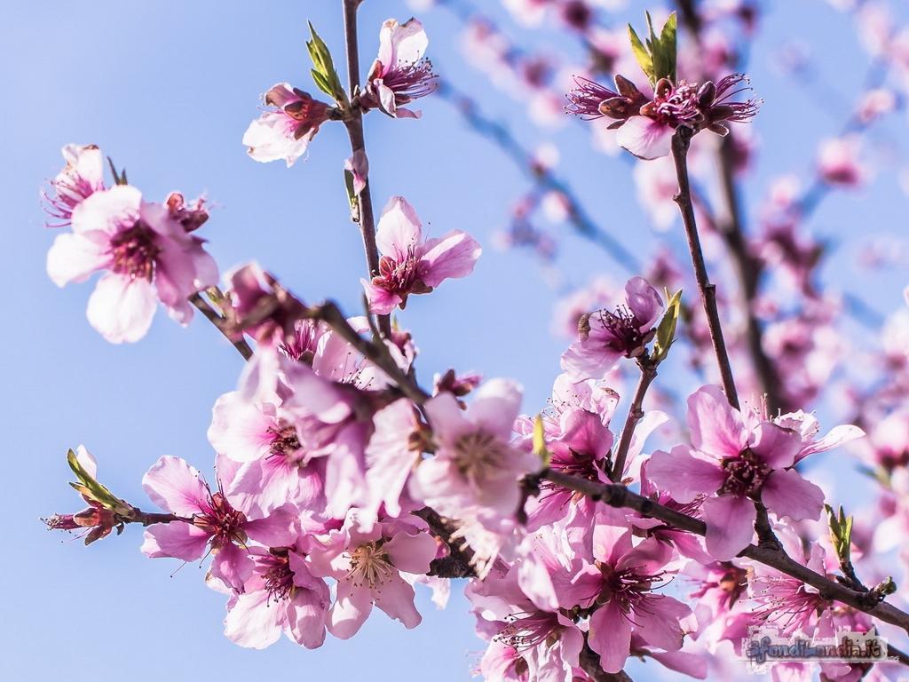 Sfondo gratis di pesco per desktop for Sfondilandia primavera