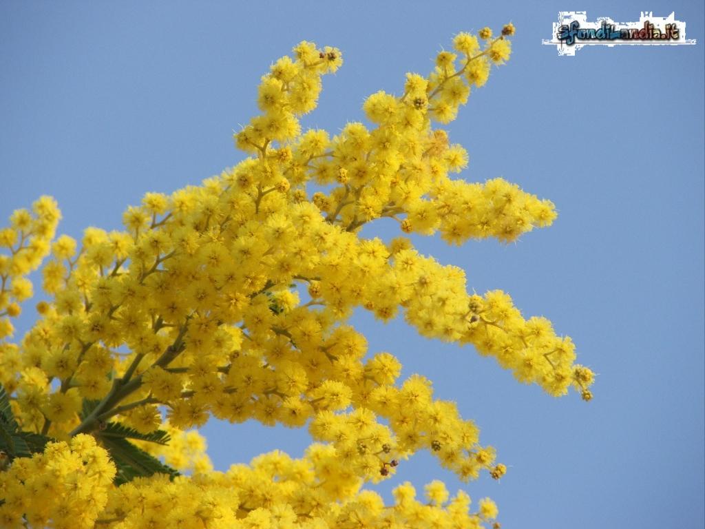 Sfondilandiait Sfondo Gratis Di Mimosa In Fiore Per Desktop