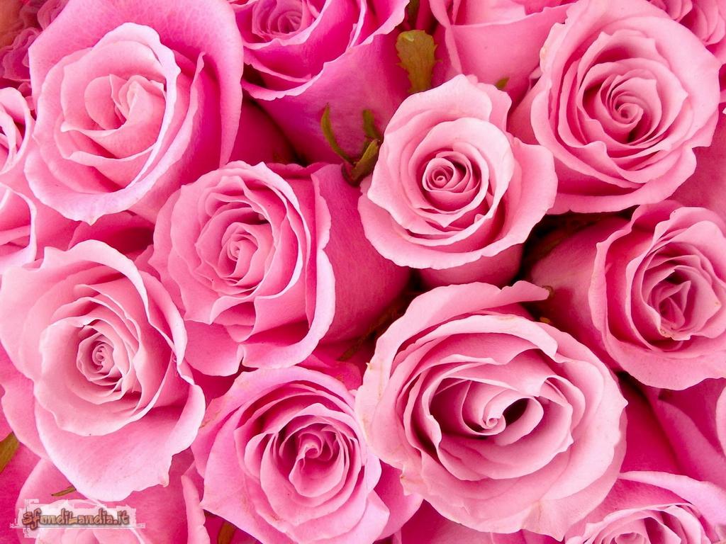 Sfondilandiait Sfondo Gratis Di Rose Rosa Per Desktop Smartphone