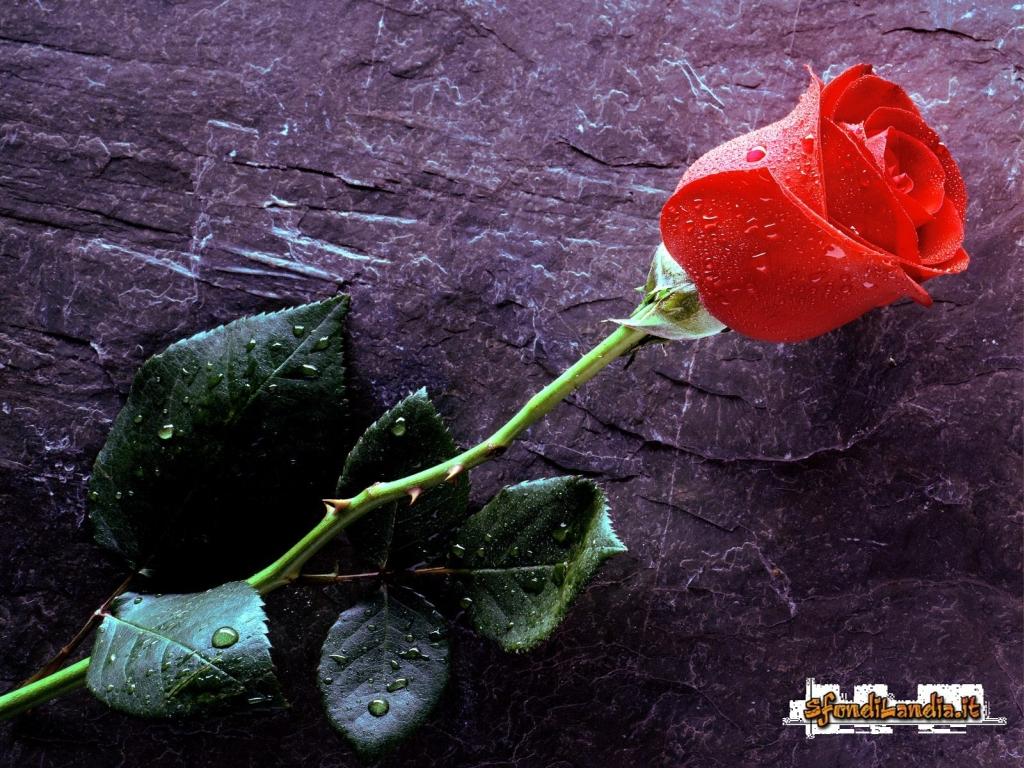 Sfondilandiait Sfondo Gratis Di Rosa Rossa Per Desktop