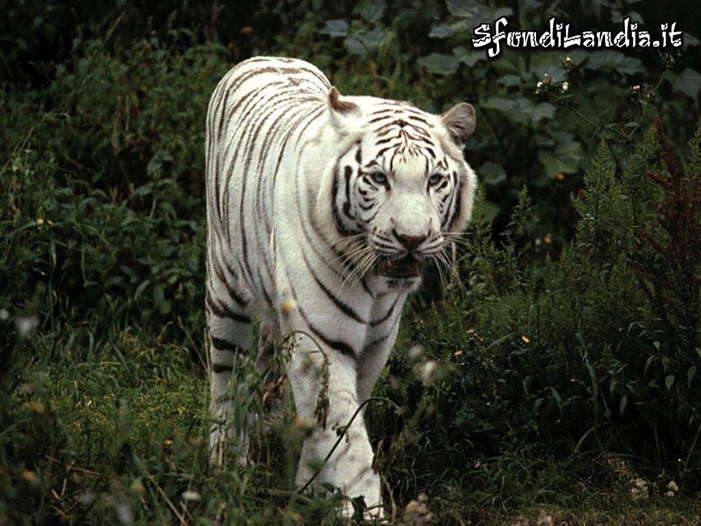 Sfondilandia.it sfondo gratis di tigre bianca per desktop