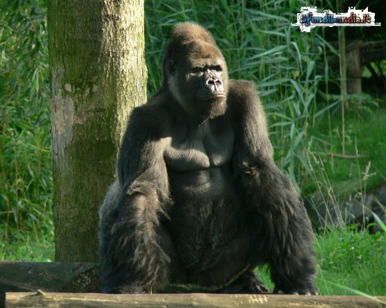 Gorilla a riposo