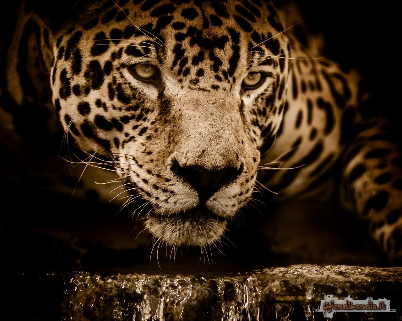 Jaguar Jaguar Eyes