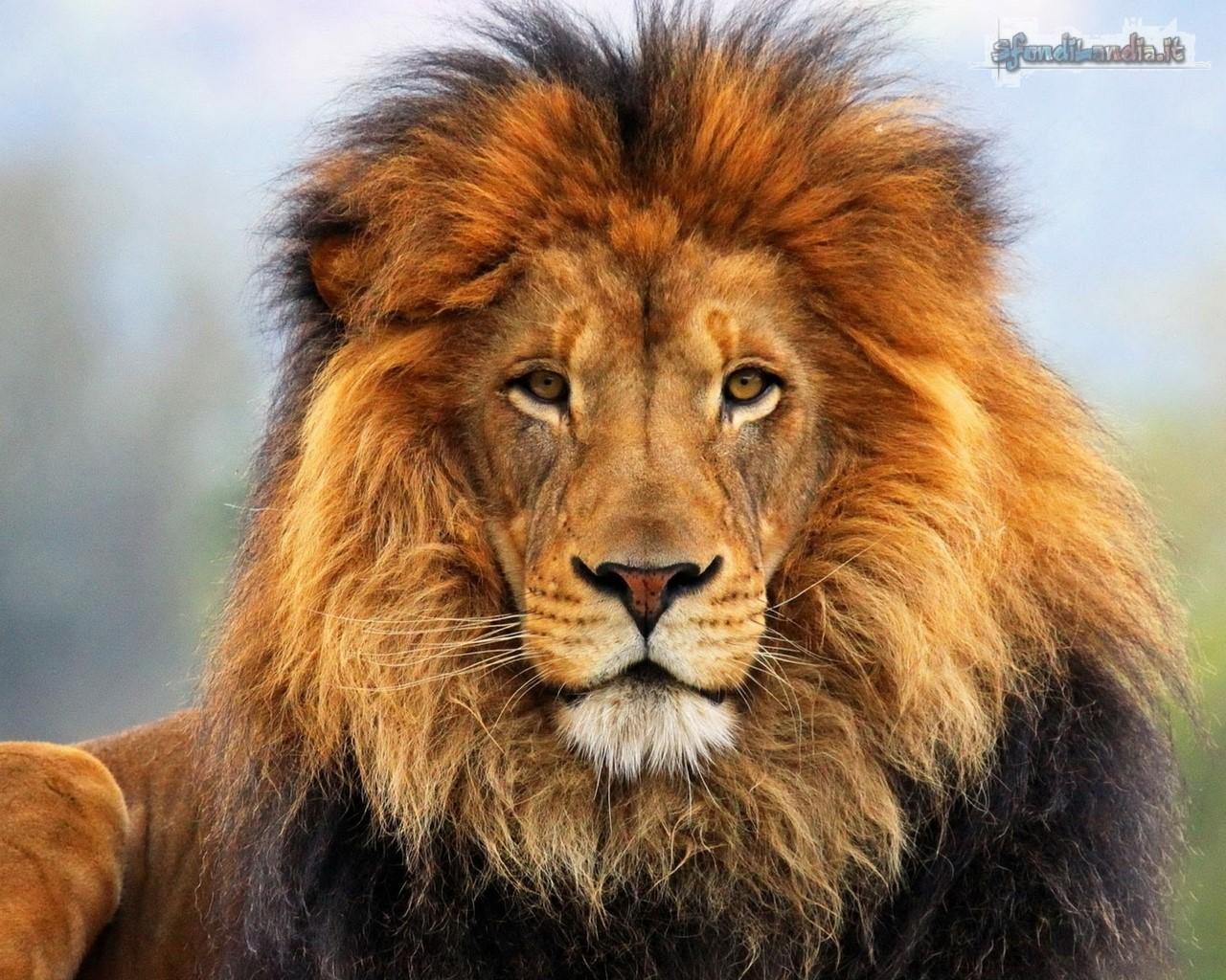 Sfondo gratis di leone africano per for Sfondi leone