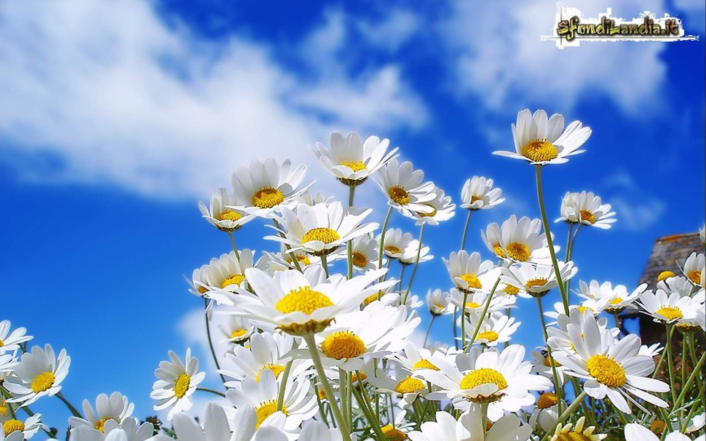 Margherite in fiore