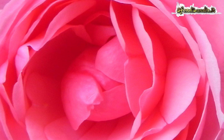 Rosa fiorita