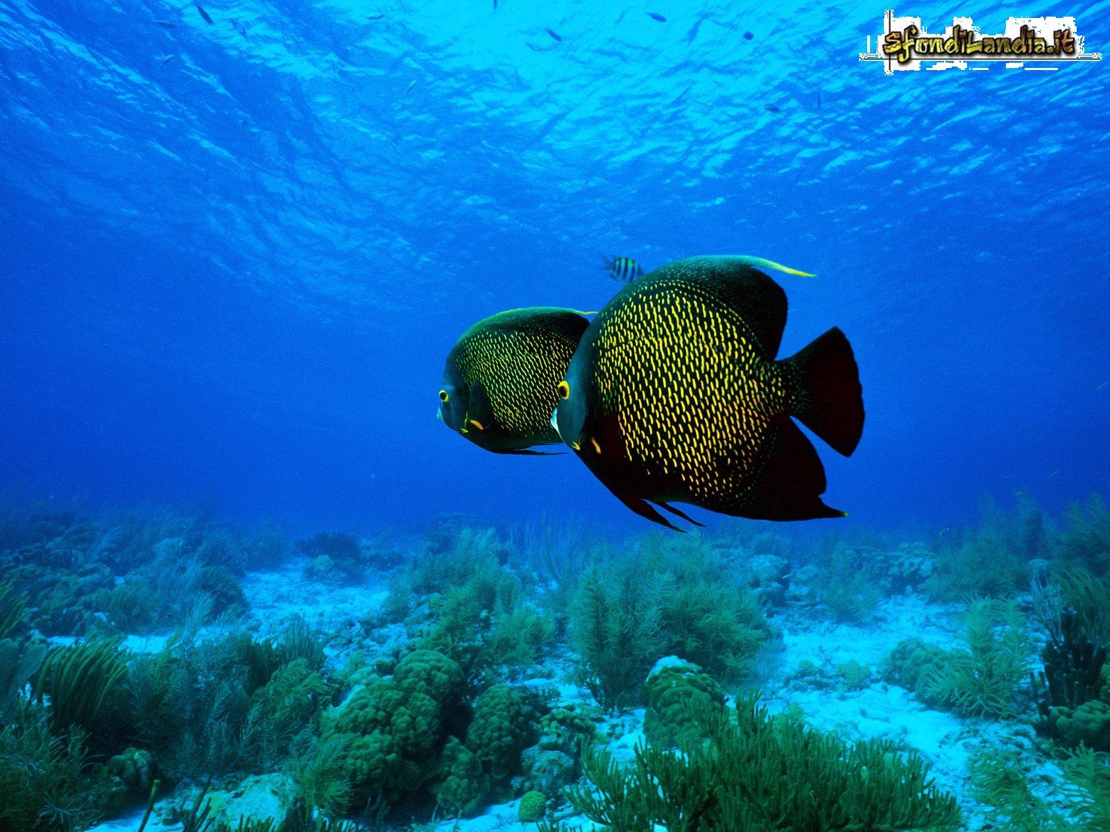 Sfondo gratis di angelfish per desktop for Sfondilandia mare