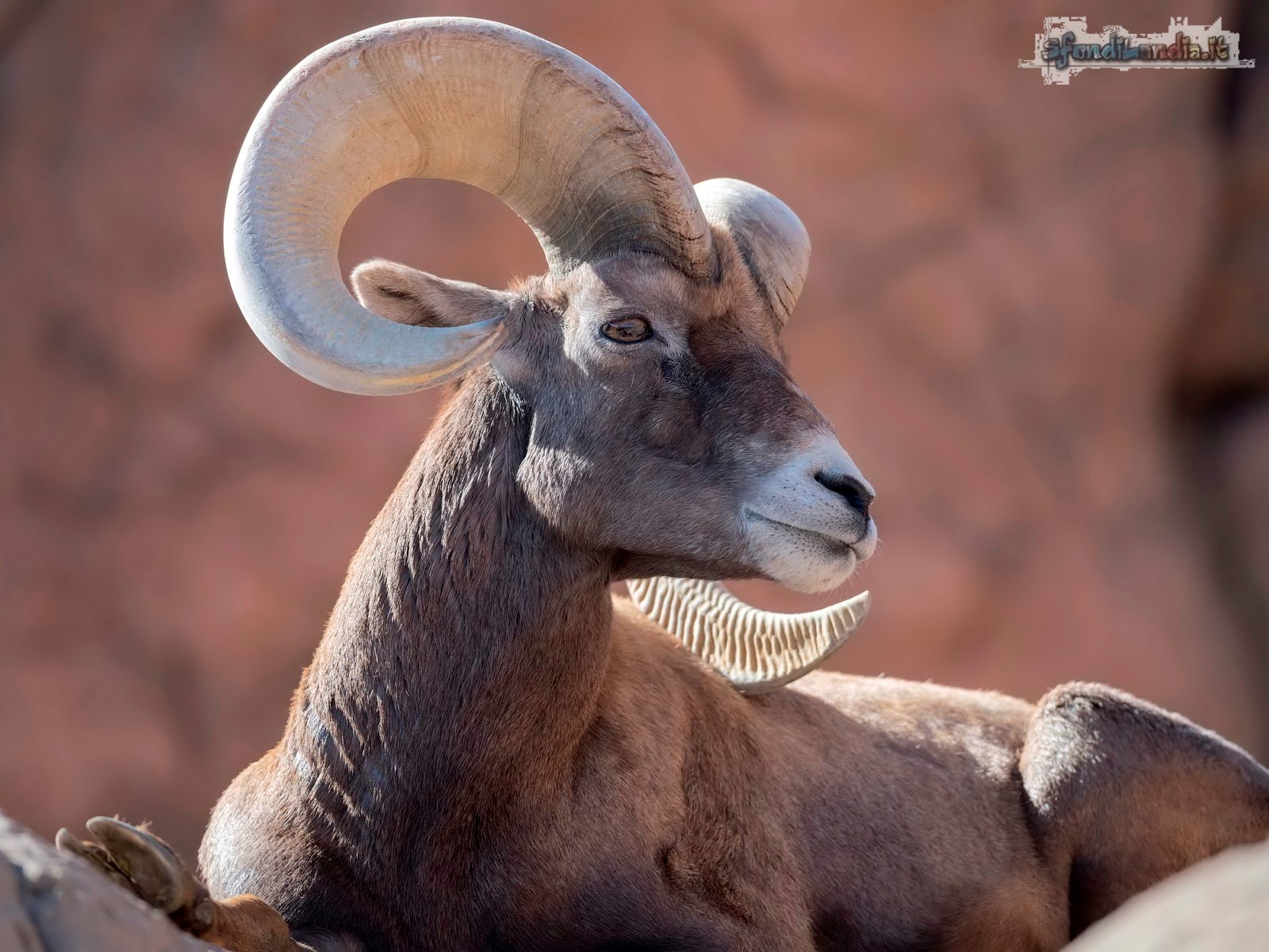 Bighorn in its habitat