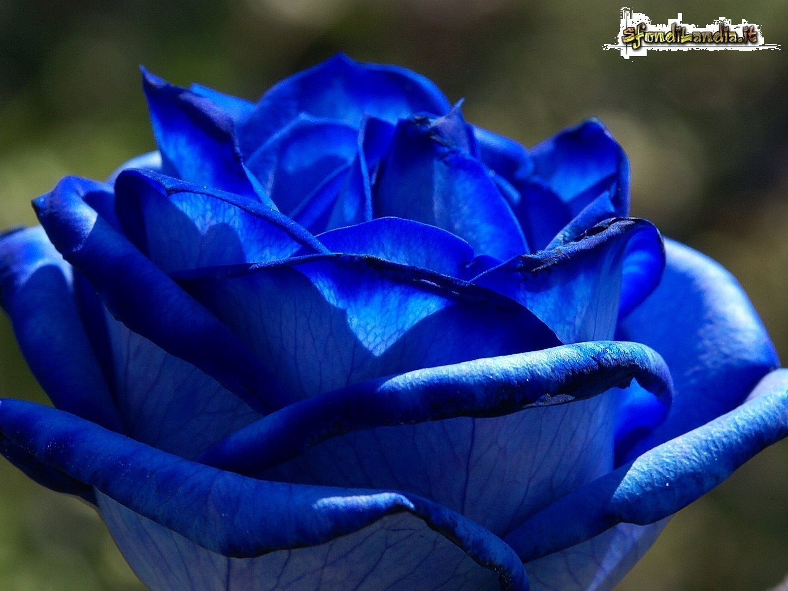 Sfondo gratis di blue rose per desktop for Sfondilandia mare