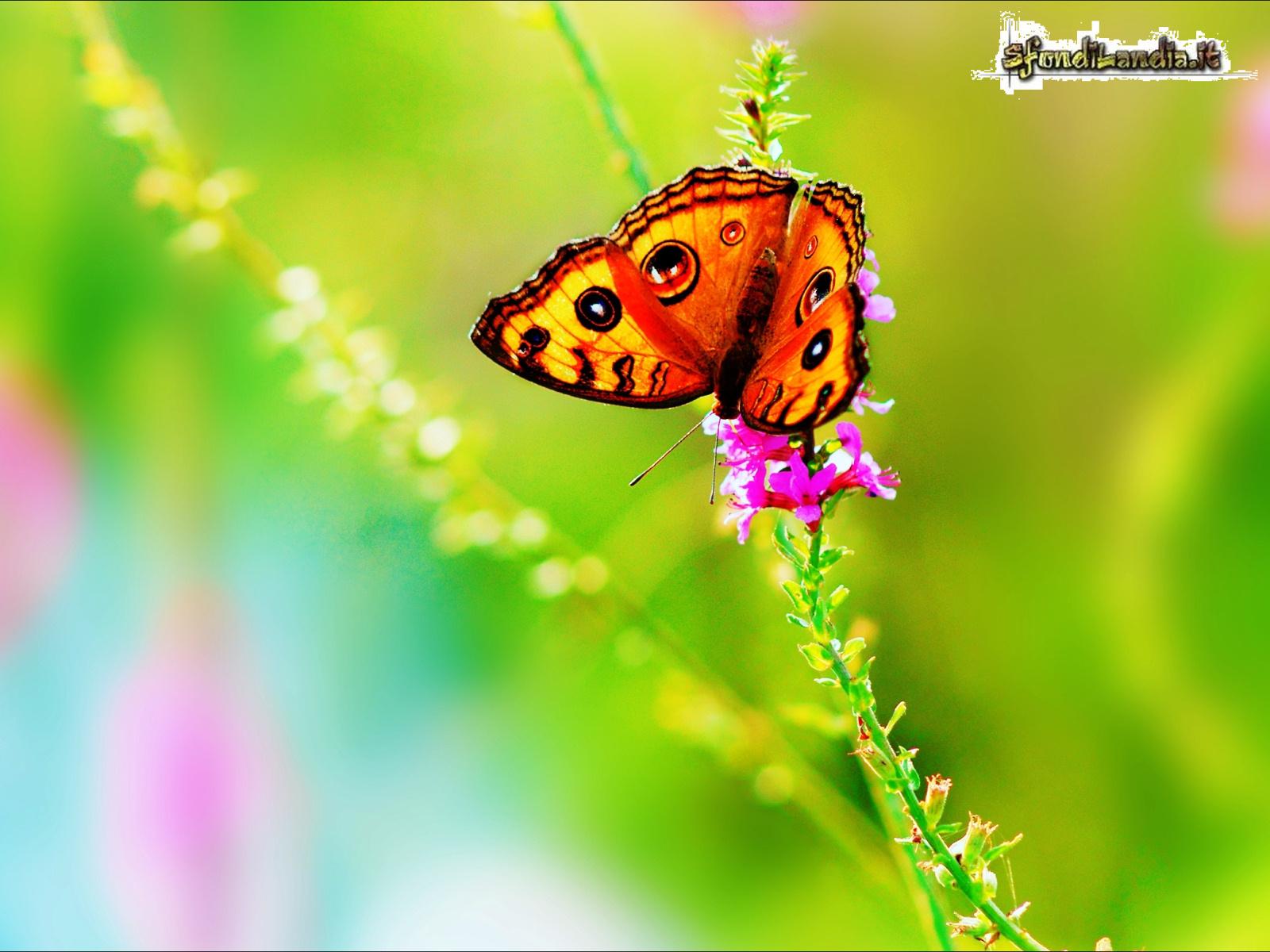 Eccezionale SfondiLandia.it | Sfondo gratis di Farfalla colorata per desktop  EJ19