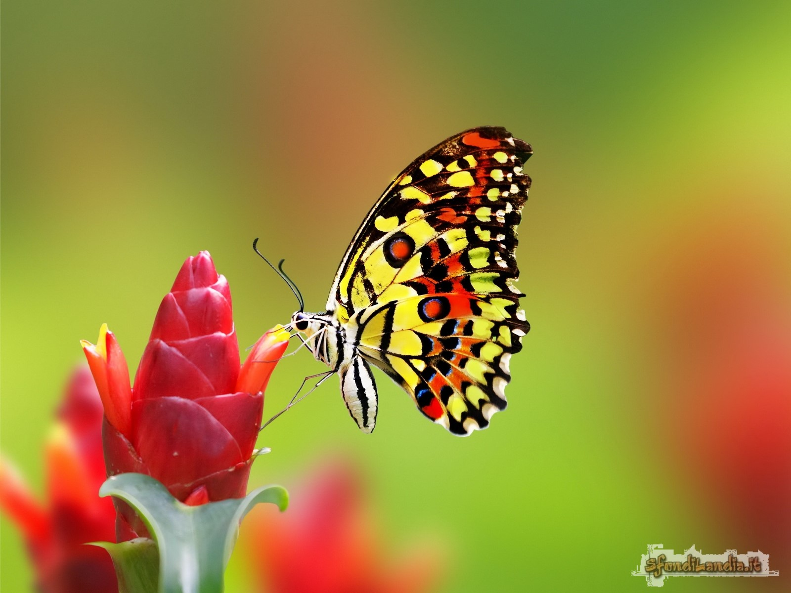 Sfondo gratis di farfalla sul fiore per for Immagini farfalle per desktop