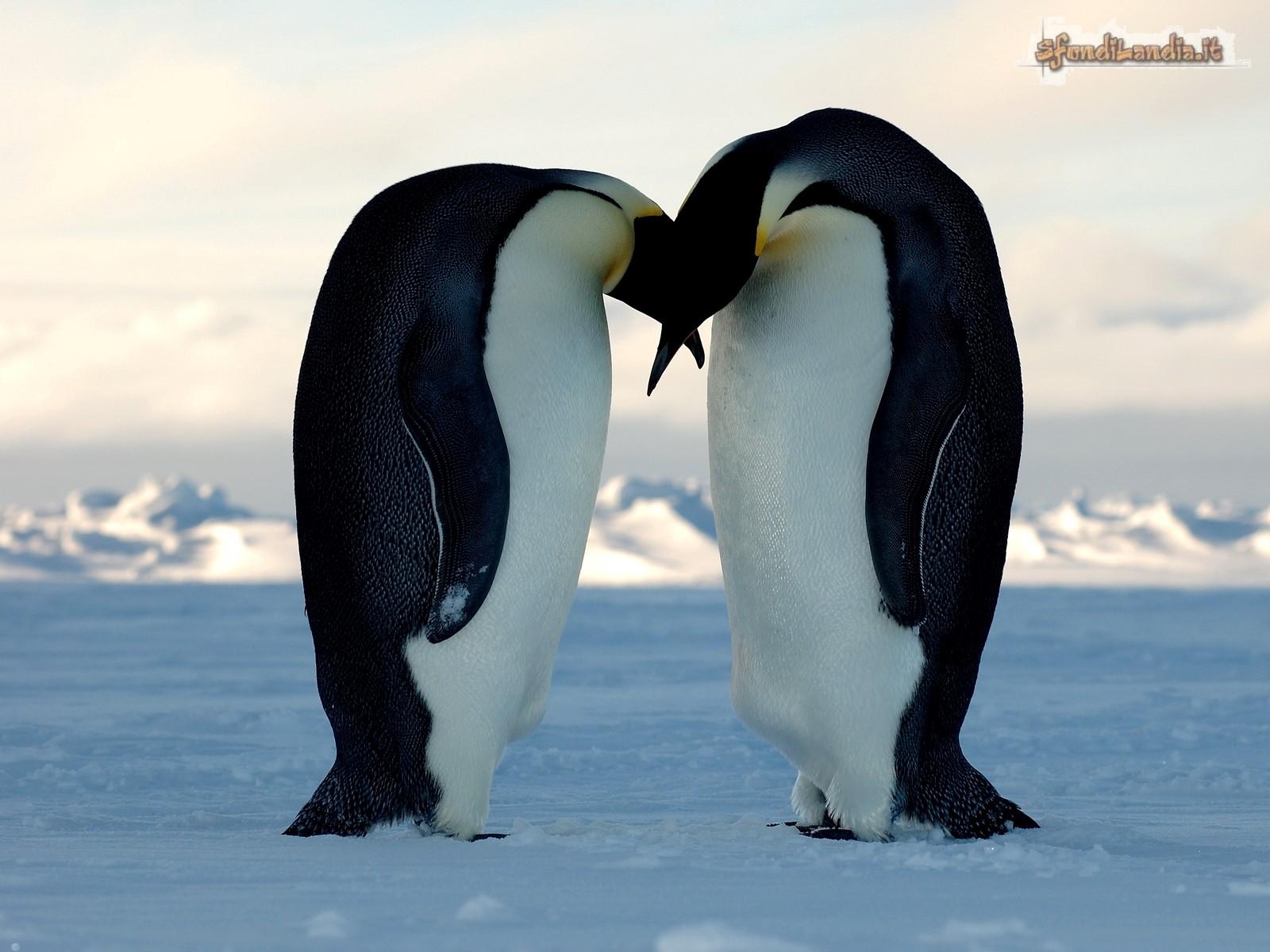 Bacio tra pinguini