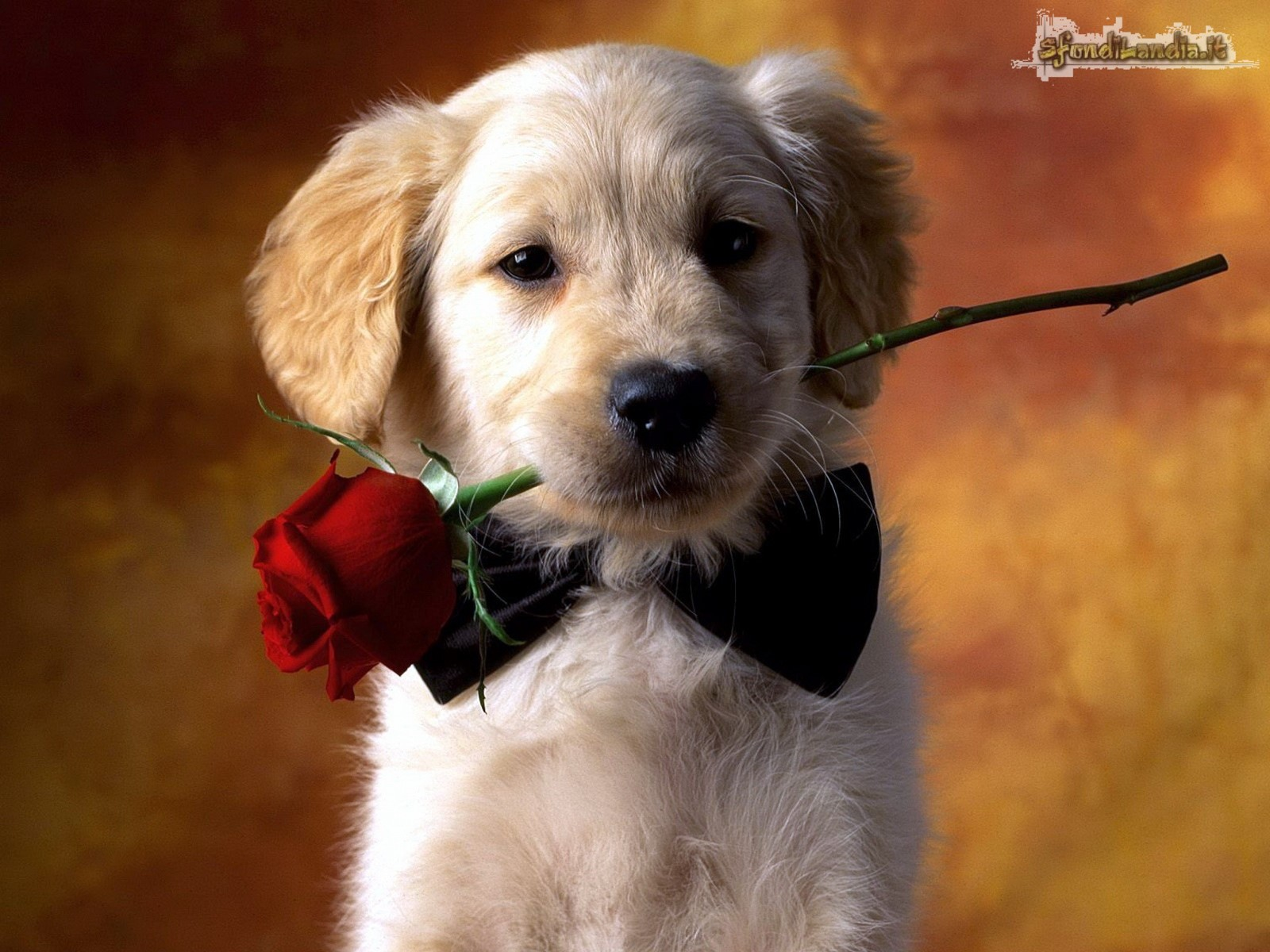 Romantic Dog
