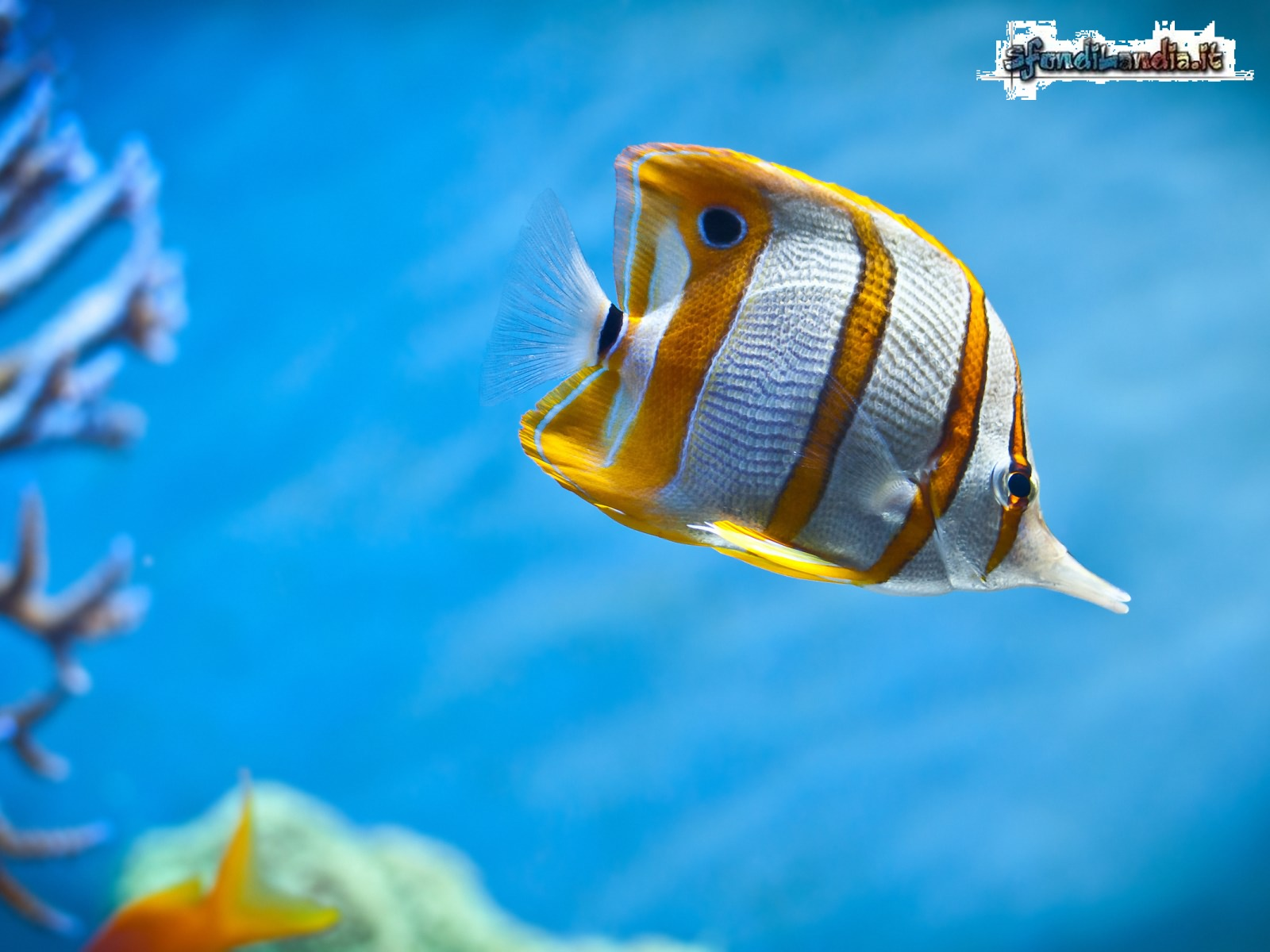 Sfondo gratis di pesce farfalla per for Sfondi animati pesci