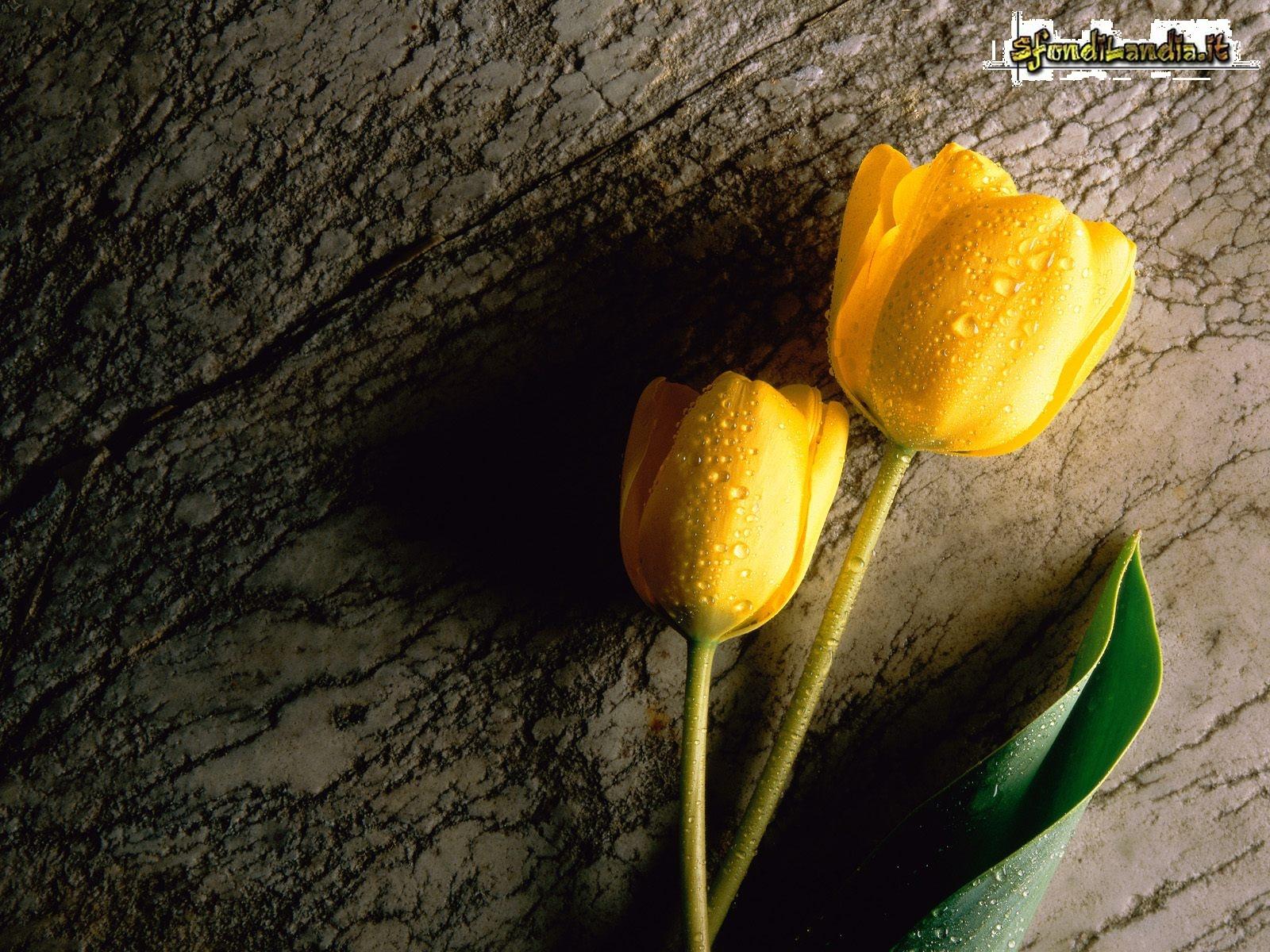 Sfondilandiait Sfondo Gratis Di Tulipani Gialli Per Desktop