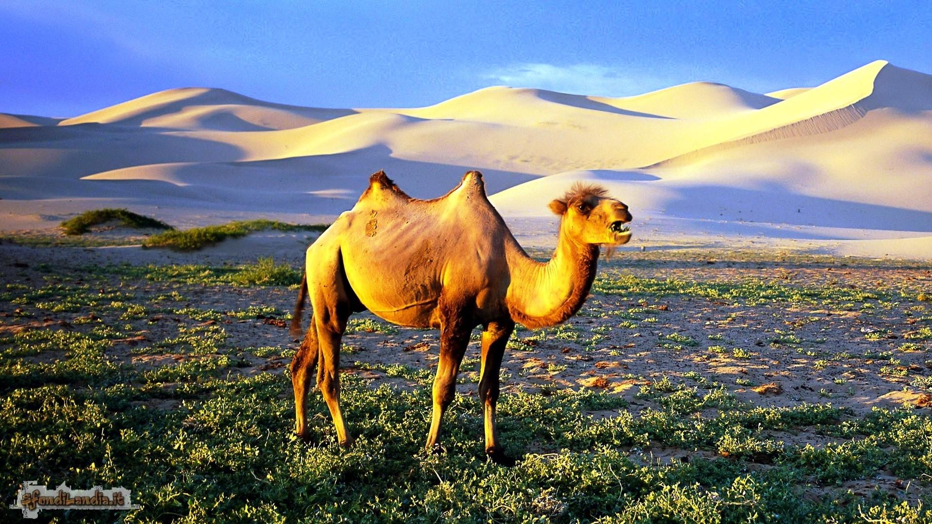 Cammello nelle dune