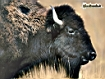 Sfondo: Bison