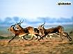 Sfondo: Antilopi