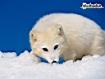 Sfondo: Arctic Fox