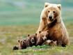Sfondo: Cuccioli di orso