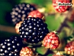 Sfondo: Blackberry Fruit