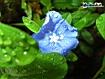 Sfondo: Blu Flower