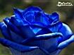 Sfondo: Blue Rose
