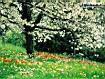 Sfondo: Boccioli in fiore