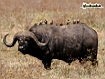 Sfondo: Bufalo Africano