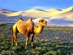 Sfondo: Cammello nelle dune