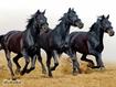 Sfondo: Cavalli neri