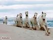 Sfondo: Cavalli bianchi