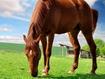 Sfondo: Cavallo marrone