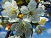 Sfondo: Cherry Blossoms