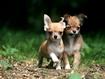 Sfondo: Chihuahua