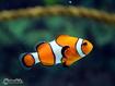 Sfondo: Clownfish