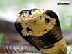 Sfondo: Cobra