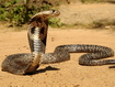 Cobra vigile