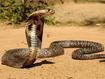 Sfondo: Cobra vigile
