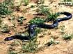 Cobra  della foresta