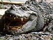 Sfondo: Coccodrillo in agguato
