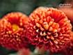 Sfondo: Crisantemi