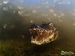 Sfondo: Crocodile