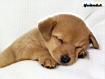 Sfondo: Cucciolo dorme