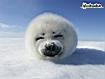 Sfondo: Cucciolo di foca