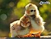 Sfondo: Cute Birds